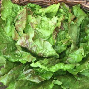 Salade Batavia rouge bio