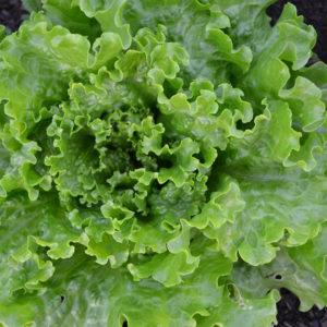 Salade Batavia verte Bio